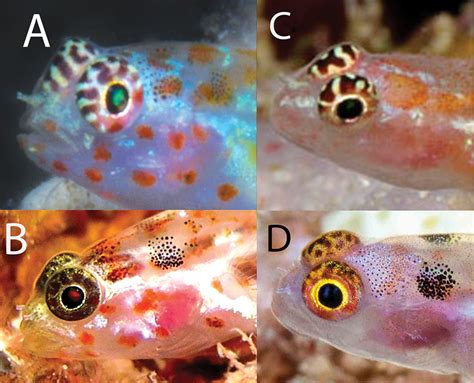 The Painted Face Dwarf Goby Is Your New Nano Species Of