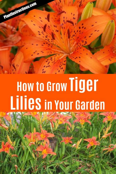 growing tiger lillies how to grow tiger lilies in your garden plant instructions