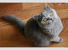 Cat Breed of the Week British Shorthair PawPost
