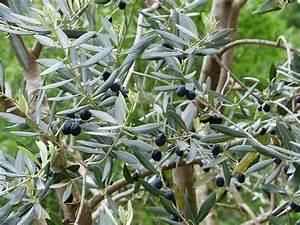 Wann Schneidet Man Apfelbäume : olivenbaum schneiden anleitung zur pflege ~ Lizthompson.info Haus und Dekorationen