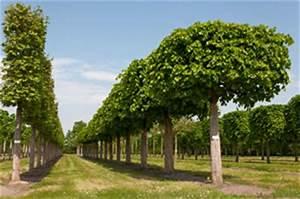 Bäume Beschneiden Jahreszeit : sommerlinde winterlinde steckbrief und pflege ~ Yasmunasinghe.com Haus und Dekorationen