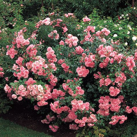 shrub roses bonica highly recommended popular searches