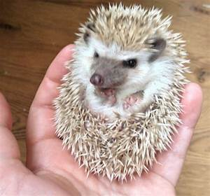 baby african pygmy hedgehogs | Bolton, Greater Manchester ...