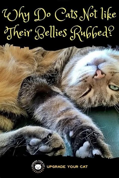cats why rubbed bellies upgradeyourcat cat some try