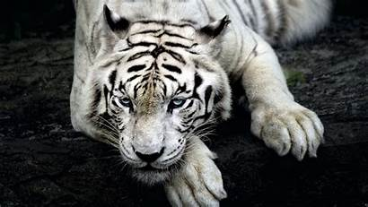Tiger Albino Wallpapers Animals King 4k Backgrounds