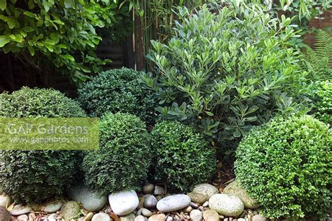 evergreen shrubs for borders gap gardens evergreen border of clipped lonicera nitida