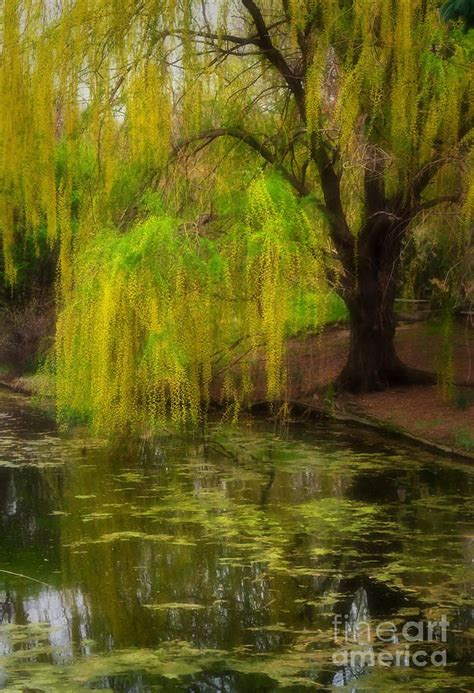 weeping pond  fred lassmann   weeping willow