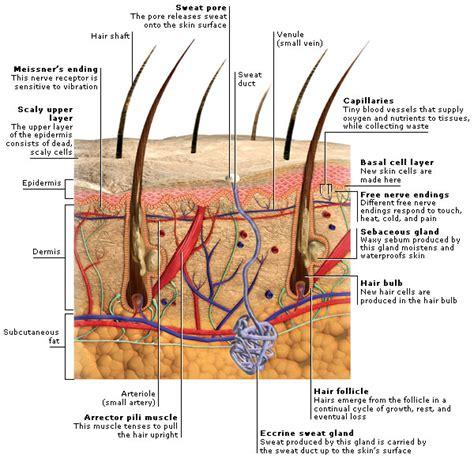 medical encyclopedia structure skin and hair aviva