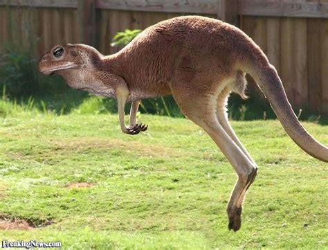 kangaroo toad pictures freaking news