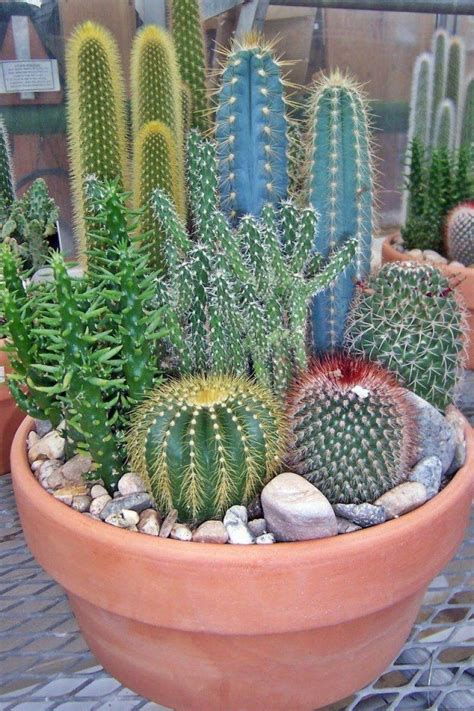 Cactus Plantas