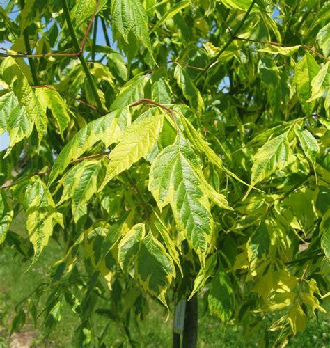 Acer negundo 'Aureomarginatum' - Ošlapu kļava