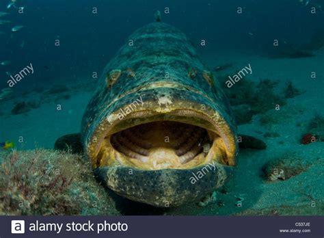 itajara goliath grouper epinephelus offshore underwater photographed alamy