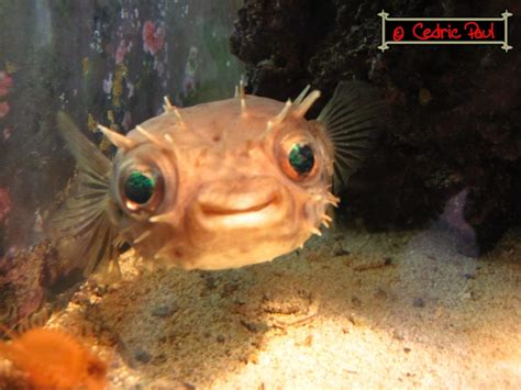 diodon holocanthus poisson ballon 233 pineux eau tropicale fiche et documentation l