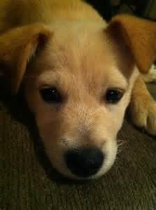 Carolina Dog American Dingo