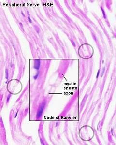 Anat2241 Nervous Tissue