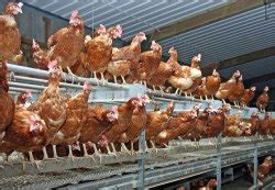 Layer Chicks - Manufacturers & Suppliers in India