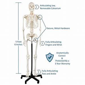 Axis Scientific Human Skeleton Model Anatomy Bundle  5 U0026 39  6