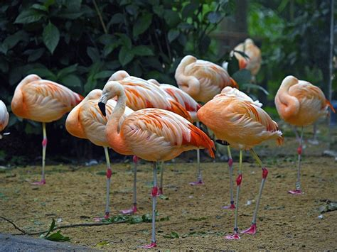 brazil flamingos water birds  photo  pixabay