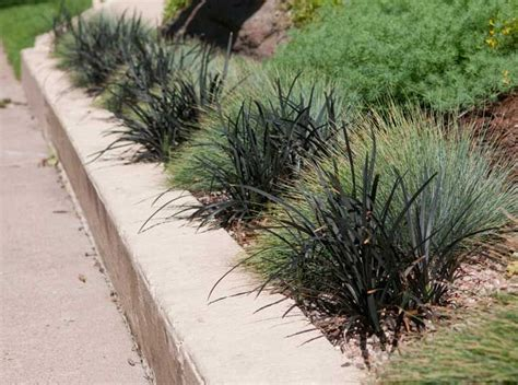 Alternating Blue Fescue And Black Mondo Grass