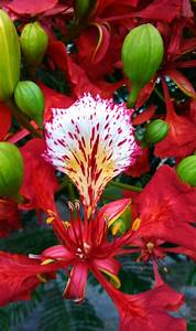Flamboyant tree flower and buds | Puerto Rico | Pinterest ...