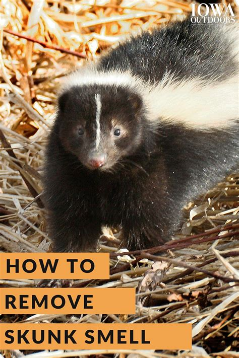 how to get rid of skunk smell how to get rid of skunk smell 28 images how to get rid of skunk smell how to get rid of