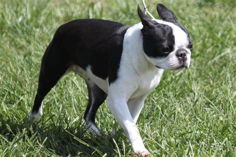 boston terrier breed information boston terrier images