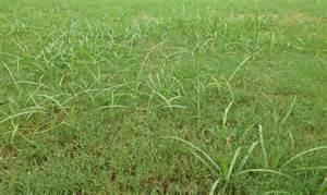 Nutsedge Bermuda Grass Weeds