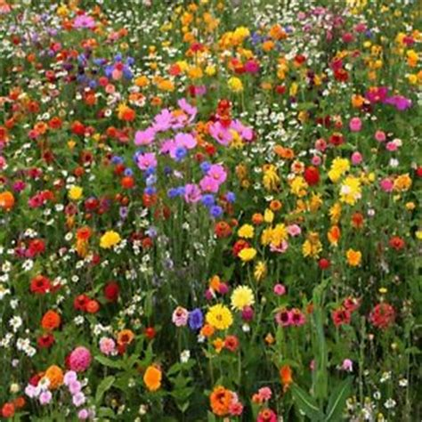 wildflower seed perennial wildflower seeds fresh seed free