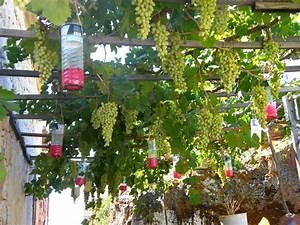 Achat Pied De Vigne Raisin De Table : pi ge gu pes sur treille a vigne grape vines with wasp traps faire une pergola ou une ~ Nature-et-papiers.com Idées de Décoration