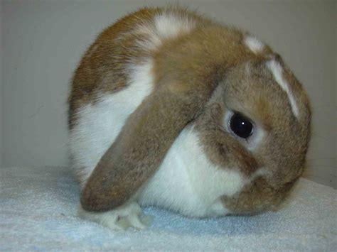 lop rabbit scottish dwarf lops and mini lops