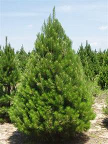 Canaan Fir Christmas Tree Seedlings by Michigan Grown Evergreen Trees Balled Burlapped Nursery Stock
