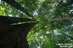 Rainforest Canopy Trees