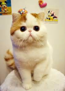 snoopy cat the most cutest cat breed in world cutest cats