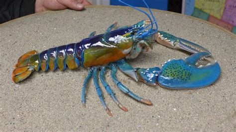 different colored different colored lobsters high def forum your high