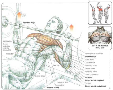 Flat Bench Vs Incline by Barbell Bench Press Chest Exercises Pictures To Pin On