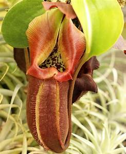 Tropical Pitcher Plant (Nepenthes) - Carnivorous Plant ...
