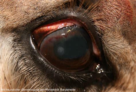Bindehautentzündung Pferd Behandlung