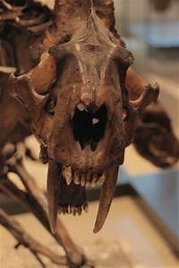 Pics For > Frozen Saber Tooth Tiger Found