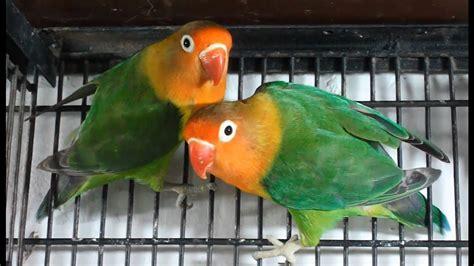 Lovebirds. How To Buy A New Pet Bird