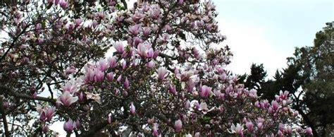saucer magnolia tree for sale saucer magnolia tulip tree magnolia x soulangeana san jose