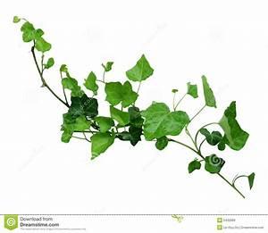 Ivy Vine Wallpaper - WallpaperSafari