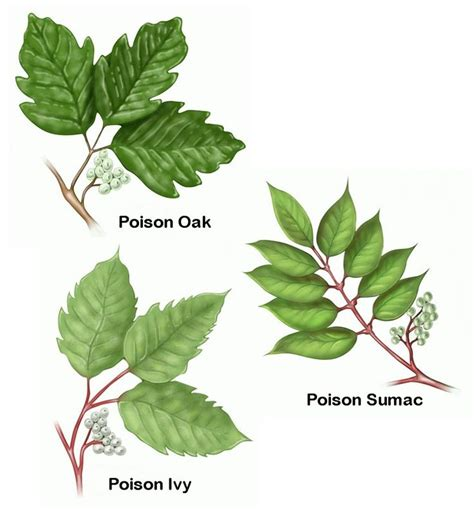 poison leaf 25 best ideas about poison oak leaves on pinterest poison ivy leaves poison ivy plants and