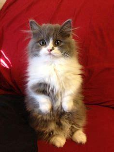 Vili, Turkish Angora, 1 Year 4 Months  Turkish Angora Cat