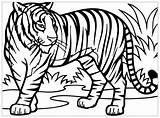 Coloring Tigers Pages Children Animals sketch template