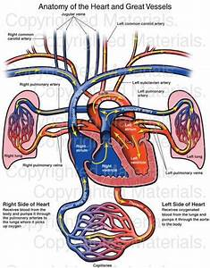 277 Best Images About Anatomy  U0026 Physiology On Pinterest