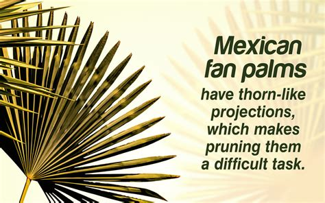 mexican fan palm care mexican fan palm care