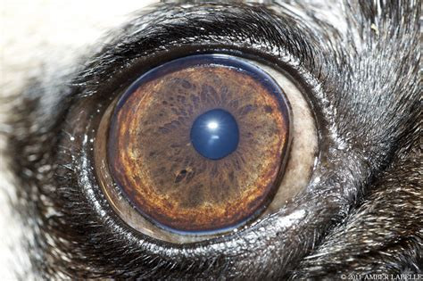 eyes  pug dog club  america