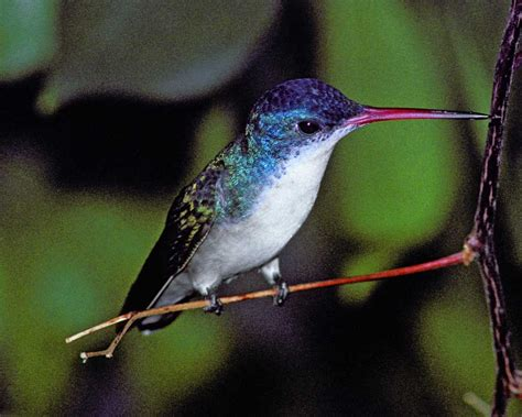 violet crowned hummingbird audubon field guide