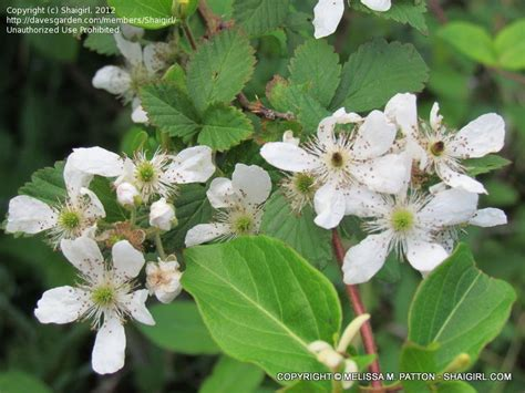 shrub with small white flowers in plant identification closed bushy thorny shrub with small white flowers 2 by shaigirl