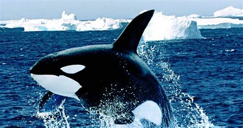 whales hd wallpapers    hd wallpapers